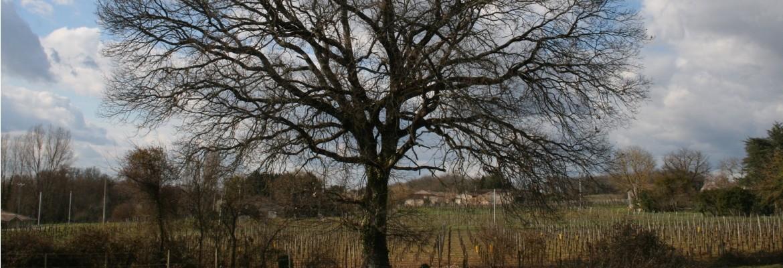arbre chêne hiver
