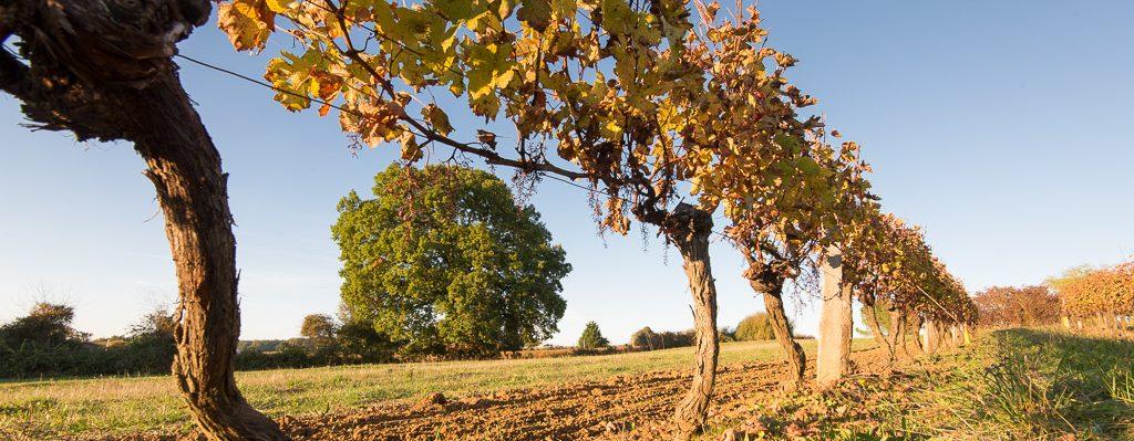 vigne penchée et chêne
