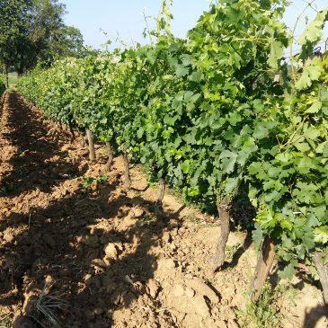 Le Travail du sol et de la vigne