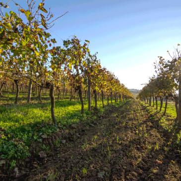 Qu'est-ce que l'épamprage de la vigne ?